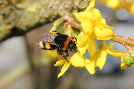 One of the first bumblebees of the year, sitting on a yellow bloom, warmed by the sun  photo