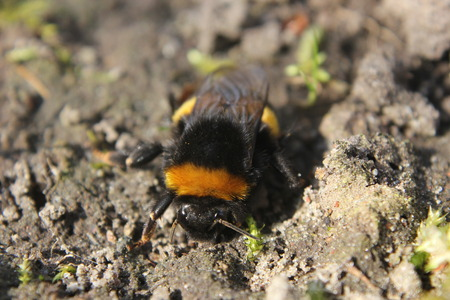 One of the first bumblebees of the year, sitting on the ground, warmed by the sun   photo