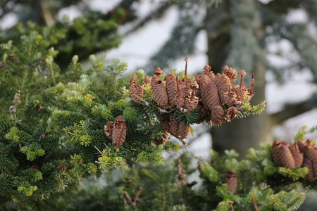 Fir cones on a tree   photo
