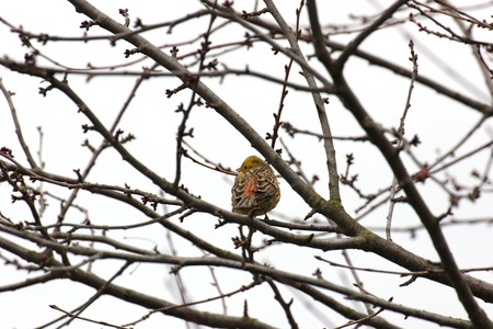 Yellowhammer in Hesse, Germany   photo