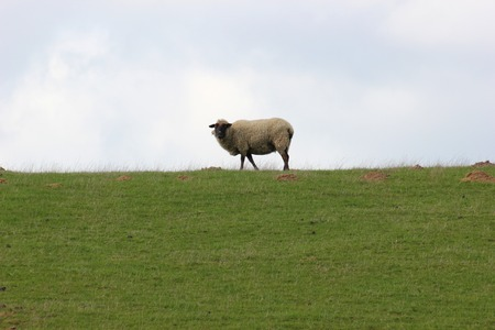 greifswald:   Single sheep grazing on a meadow   Stock Photo