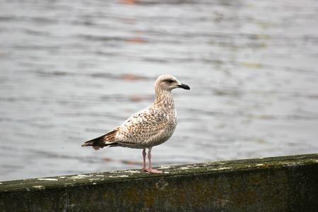greifswald:   Juvenile European Herring Gull sitting on wood