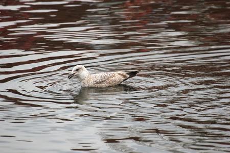 greifswald:   Juvenile Herring Gull sitting on wood