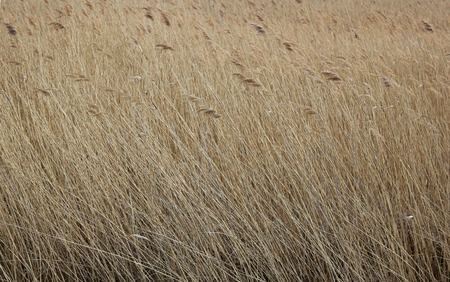 Reed at the river Ryck in Mecklenburg-Vorpommern, Germany  photo