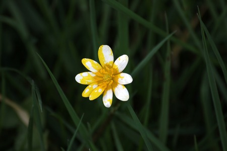greifswald:   Lesser celandine with unusual white and yellow bloom