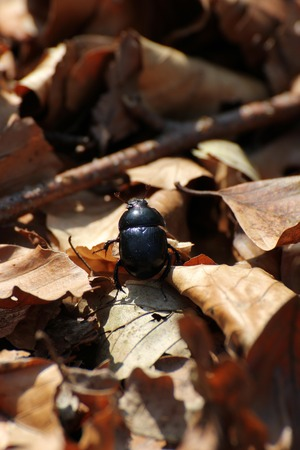 geotrupidae:   Dung beetle on brown leaves in a forest near Greifswald, Mecklenburg-Vorpommern, Germany  Stock Photo