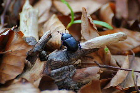 Dung beetle on brown leaves in a forest near Greifswald, Mecklenburg-Vorpommern, Germany  Stock Photo