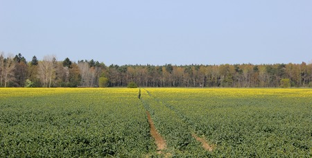 greifswald:   Rapeseed field with tractor trails