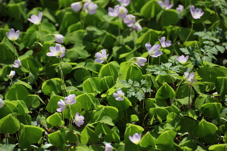 Wood Sorrel in a forest near Greifswald, Mecklenburg-Vorpommern, Germany  photo