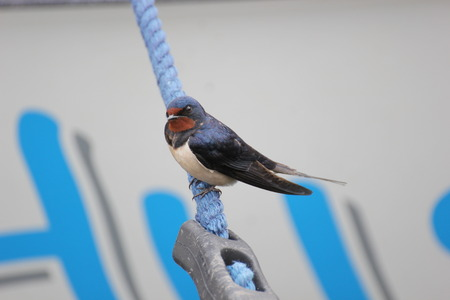 Barn swallow sitting on a rope.