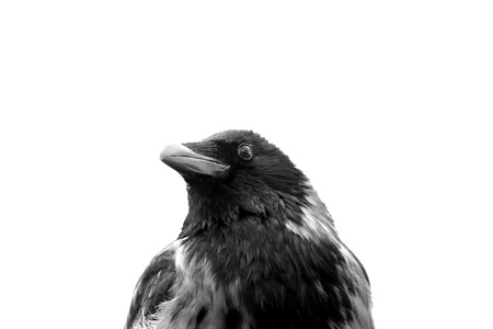 Hooded crow (Corvus cornix) head in black and white. photo