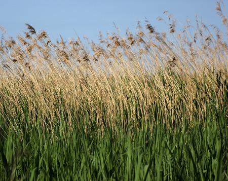 Reed at the Greifswalder BoddenBaltic Sea in Mecklenburg-Vorpommern, Germany. photo