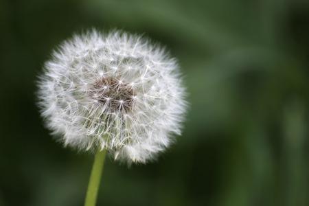 blowball:   Dandelion (Taraxacum) blowball on defocused background.