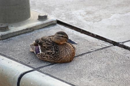 color image mallard duck:   Female mallard sitting on waters edge. Stock Photo