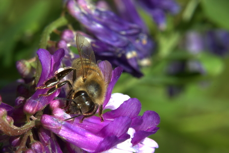 Western honey bee (Apis mellifera) gathering nectar from a vetch blossom. photo