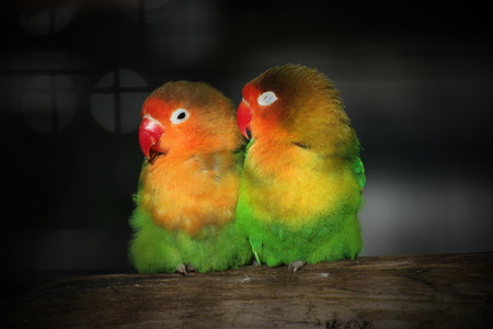 Lovebirds sitting close together on a piece of wood. Light effects from the cage can be seen. Vignetting was applied. photo