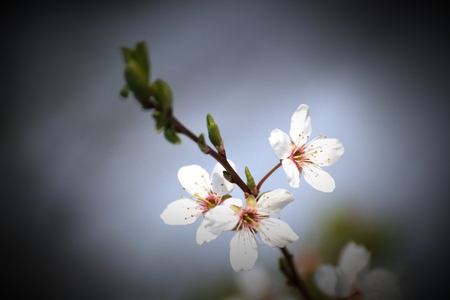 Close-up of an apple blossom in spring. Vignetting was applied. photo