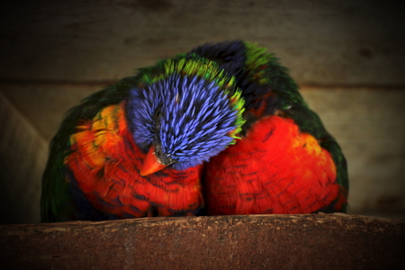 vignetting:   Two rainbow lorikeets snuggling with each other Vignetting was applied.