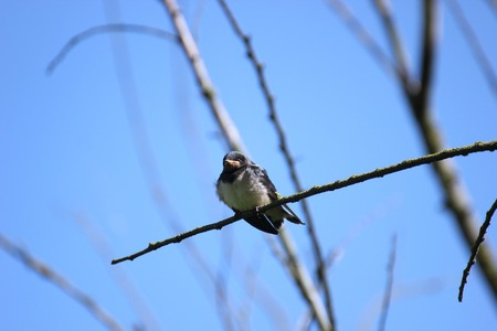 Young barn swallow sitting on a tree  photo