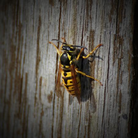 Queen of a german wasp (Vespula Germanica) grating wood. Vignetting was added.