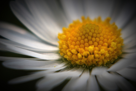 image created 21st century:   Close-up of the blossom of a daisy (Bellis perennis). Vignetting was added.