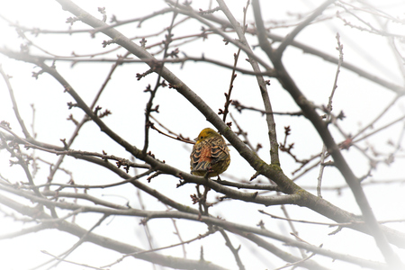 Yellowhammer in Hesse, Germany. photo