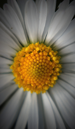 vignetting:   Close-up of the blossom of a daisy (Bellis perennis). Vignetting was added.