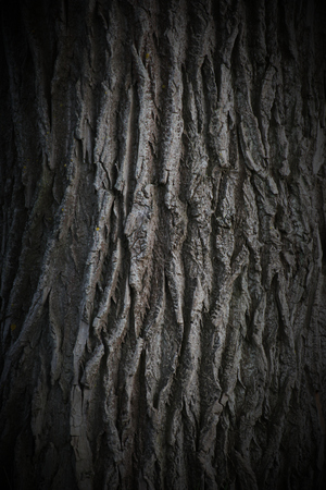Bark from basswood. Vignetting was added. photo