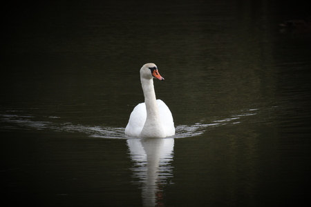 A white swan on water, causing waves. Vignetting was added. photo