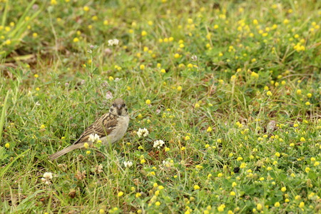 nibbling:   Female house sparrow (Passer domesticus) in the grass, nibbling on clover blossoms.