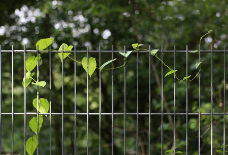image created 21st century:   Tendril of larger bindweed (Calystegia sepium) at a fence.