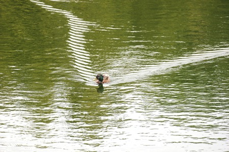 color image mallard duck:   A male mallard swimming in water producing bow wave.
