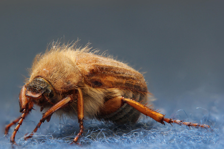 European june beetle (Amphimallon solstitiale) sitting on carpet.