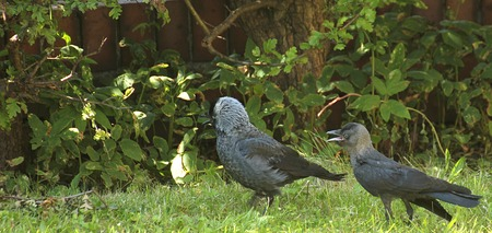 Westerm jackdaw (Corvus monedula) and mother. photo