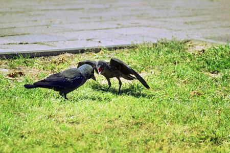 Westerm jackdaw (Corvus monedula) begging his mother for food. photo