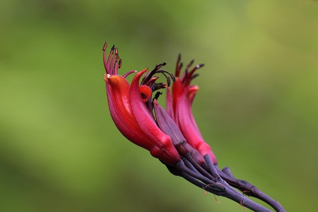 new zealand flax:   Blossoms of New Zealand flax (Phormium tenax). Stock Photo