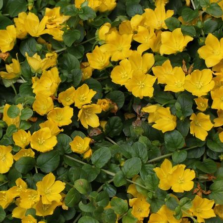 Moneywort (Lysimachia nummularia) 꽃 침대입니다.