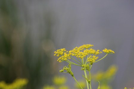 umbel:   Umbel of parsnip (Pastinaca sativa) with blossoms.