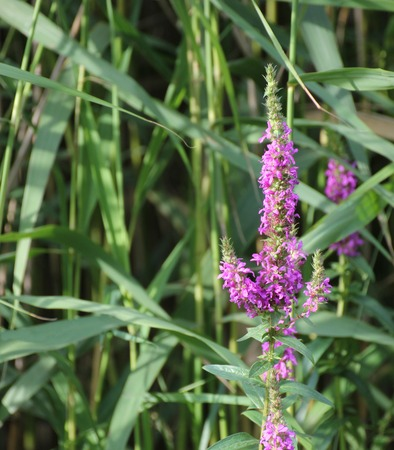 myrtales:   Blossoms of european wand loosestrife (Lythrum virgatum) with reed in background.