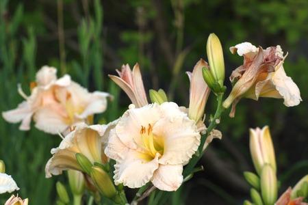 image created 21st century:   Yellow and beige blossoms of daylilies (Hemerocallis).
