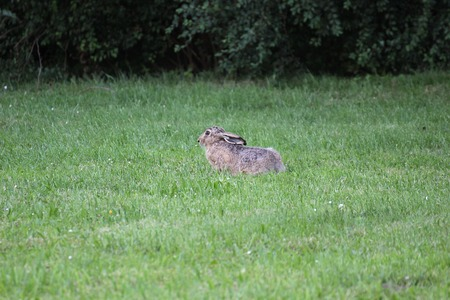 image created 21st century:   European hare (Lepus europaeus) sitting in grass and watching in alertness.