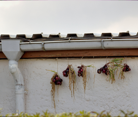 image created 21st century:   Red onions hanging under a roof for conservation. Stock Photo