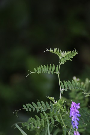 branched:   Branched leaves from the bird vetch (Vicia cracca).