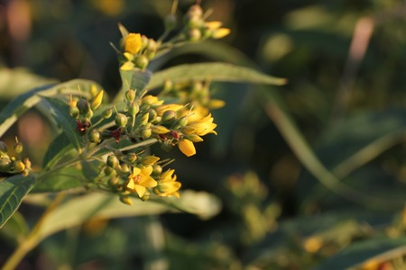 image created 21st century:   Blossoms of the yellow loosestrife (Lysimachia vulgaris).