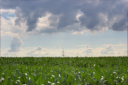 voltage gray:   Power line on corn field under a blue sky with heavy clouds.