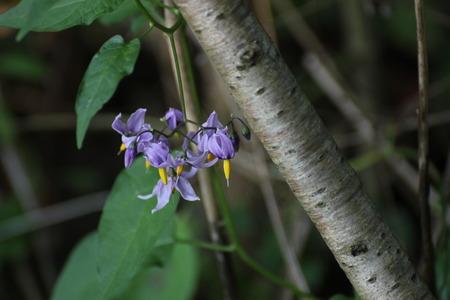 nightshade:   Blossoms of the poisonous bittersweet nightshade (Solanum dulcamara).
