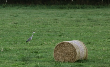 image created 21st century:   Gray heron (Ardea cinerea) and a hay bale looking in the sky.