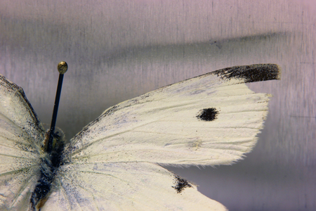 Macro shot of the small cabbage white (Pieris rapae). The insect is from a private zoological collection. photo