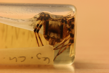 arthropod:   Wasp spider (Argiope bruennichi) from a private zoological collection. The arthropod is conserved in ethanol with some sheets with taxonomical information.