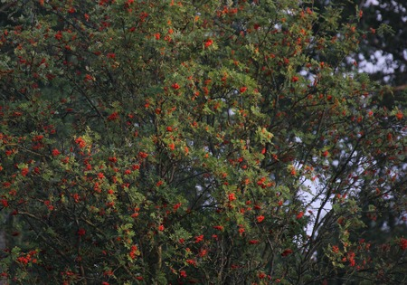 sorbus:   A rowan tree (Sorbus aucuparia) with ripe red berries. Stock Photo